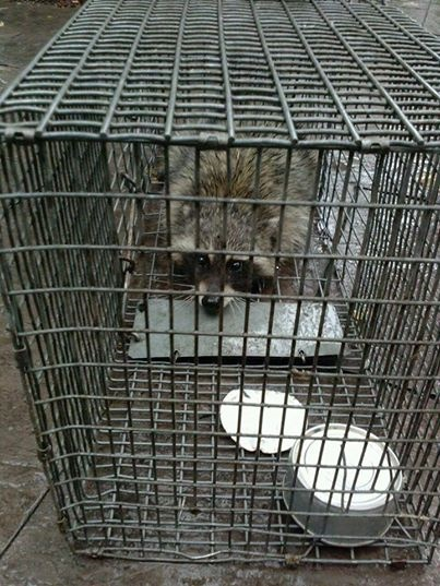 Minneapolis Minnesota Image of Raccoon In Trap